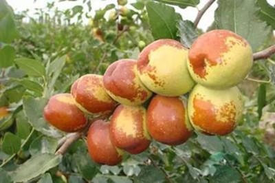 新疆红枣树遗传育种研究成果丰硕