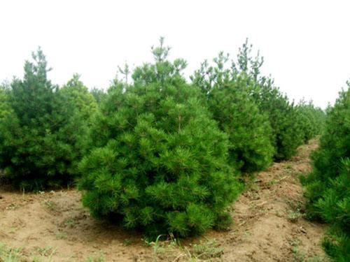 白皮松、山西优质绿化苗木供应商、4-5米精品产地直销