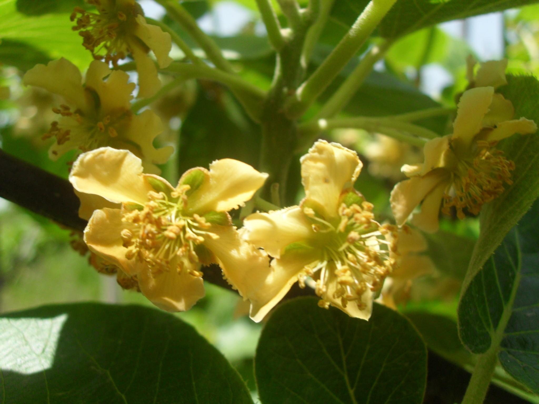 徐香猕猴桃