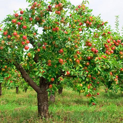 红富士苹果树的生长习性
